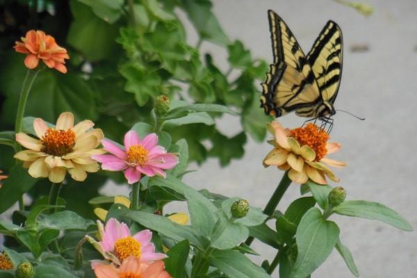Butterfly on zinna.