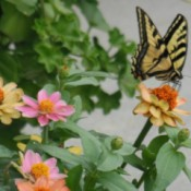 Butterfly on zinna.