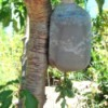 Milk jug tomato planter hanging in tree.
