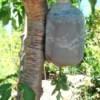 Milk jug tomato planter hanging in tree.