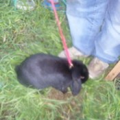 Black bunny on a leash.