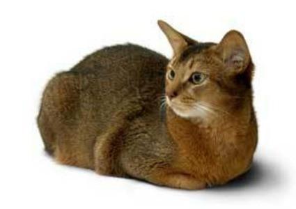 Abyssinian cat.