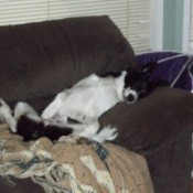 Dog lying on her back on the couch.