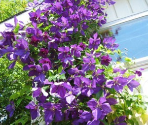 Taking Care of Clematis