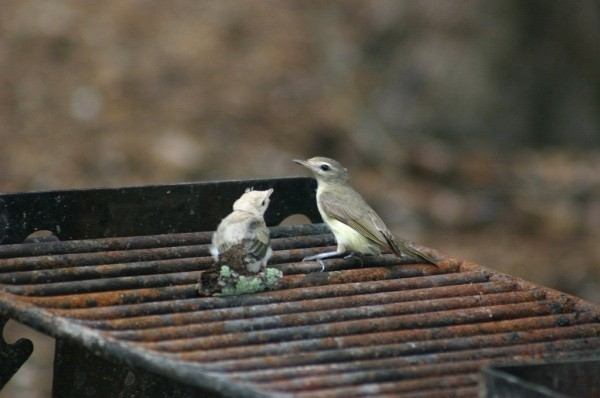 Warbling Vireo, parent and fledgling.