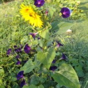 Purple morning glory growing up a sunflower.