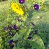 Purple morning glory growing up a sunflower.