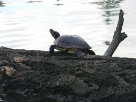 A turtle sitting on a log at American Lake, WA