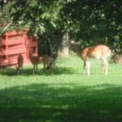 Deer under apple tree.