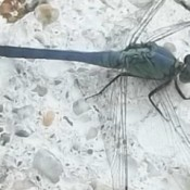 Dragonflies (Salisbury, MD)