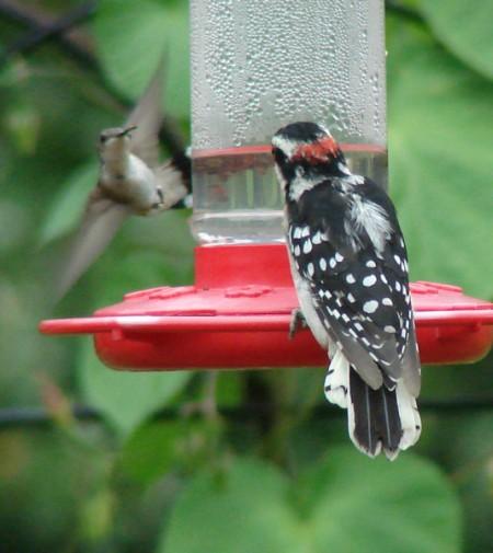 Woodpecker and humming bird on feeder.