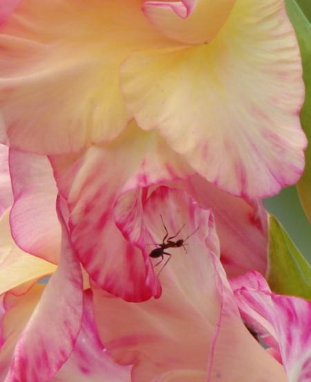Ant on pink gladiolus.