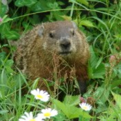 Woodchuck in the garden.