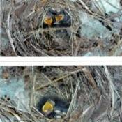 Baby Birds (Williston, FL)