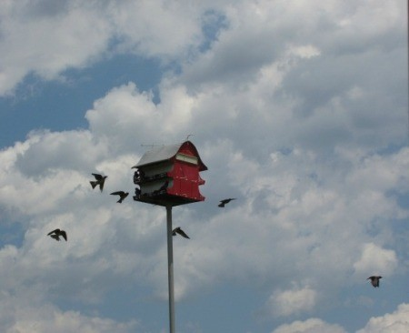 Birds flying around a birdhouse (Marietta, OH)