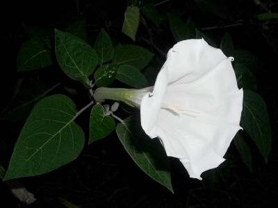 Side view of moonflower blossom.