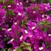 Growing Bougainvillea