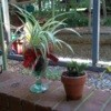 Potted baby spider plant and Christmas cactus start.