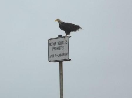 Bald eagle on sign.