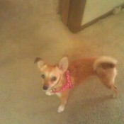 Chihuahua Terrier mix, tan with curly tail.