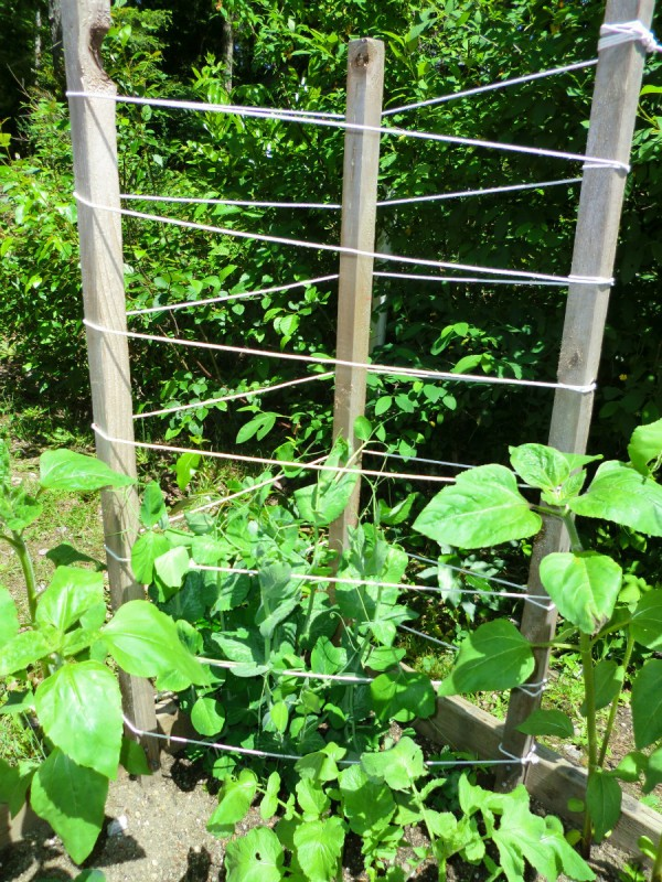 Simple Pole Bean Trellis