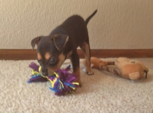 Black and tan puppy playing.