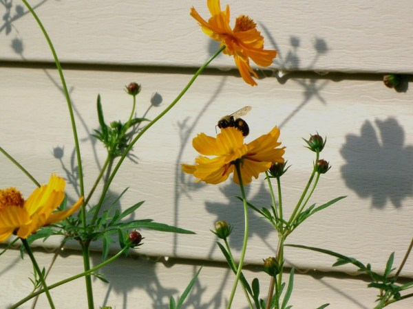 Bumblebee Pollinating Coreopsis (Maryville, TN)