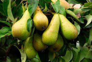 Caring for a Pear Tree