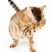 Picture of an ashamed cat.