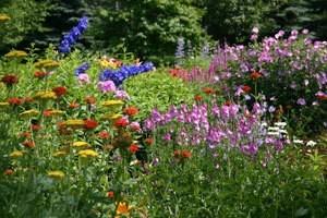Perennial Flowers in Yard