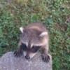 A wild raccoon looking up.