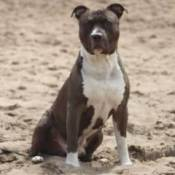 Breed Information: American Staffordshire Terrier