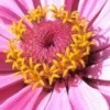Closeup of pink daisy like flower with pink and yellow center.