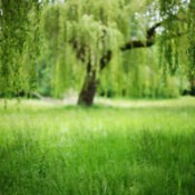 Growing a Willow From a Cutting