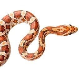Corn snake.