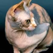 Sphynx cat.