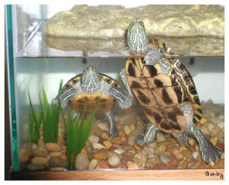 Turtles in aquarium.
