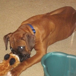 Boxer Biting Toy