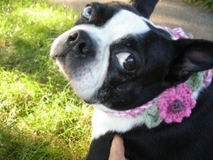 Sophie (Boston Terrier)