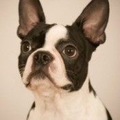 Boston Terrier - Breed Information and Photos