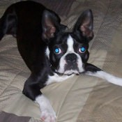 Back and white Boston Terrier
