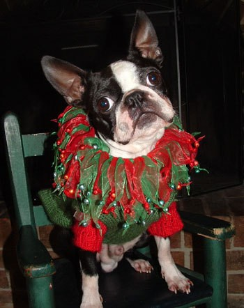 Black and white dog in Christmas outfit.