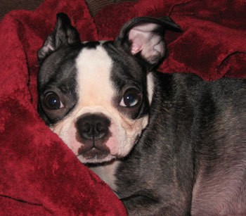 Profile of black and white dog.