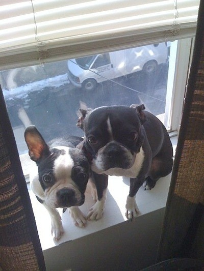 Boston Terrier Breed Information And Photos Thriftyfun