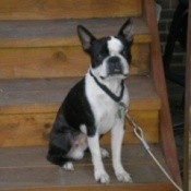 Black and white dog on wood stairs.