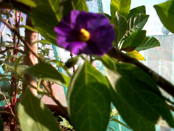 What is this flower solanum rantonnetii thriftyfun what is this flower solanum rantonnetii mightylinksfo