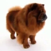 A picture of a chow chow.