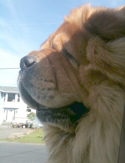 Rocco (Chow Chow)