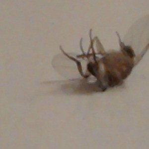 Dead brown and dark fly.
