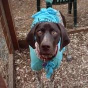 Dog in outside pen wearing a blue t-shirt.